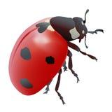 Ladybug или Ladybird 7-пятна Стоковая Фотография RF