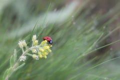 Ladybug и цветок стоковая фотография rf