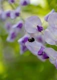 Ladybug и японская глициния Стоковые Изображения RF