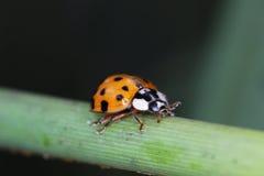 Ladybug идя на зеленую ручку Стоковые Фотографии RF