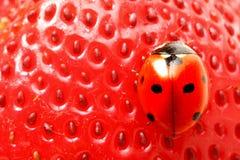 ladybug лакомки стоковое изображение rf