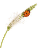 Ladybug макроса на шипе изолированного подорожника в падениях воды Стоковое фото RF