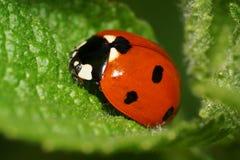 Ladybug макроса одного кавказский на зеленой крапиве лист стоковые фотографии rf