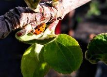 ladybug макроса стоковые изображения rf