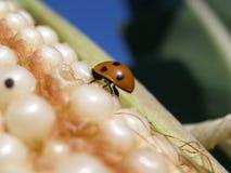 Ladybug макроса Стоковая Фотография RF