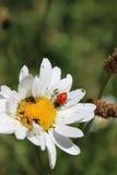 Ladybug на белой маргаритке стоковое фото rf