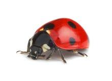 Ladybug на белой предпосылке Стоковые Фотографии RF