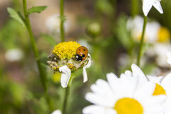 Ladybug на бутоне маргаритки Стоковые Фотографии RF
