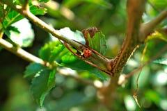 Ladybug на ветви Стоковые Изображения
