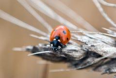 Ladybug на высушенной пшенице Стоковое Изображение RF