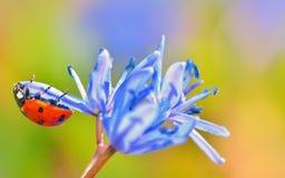 Ladybug на голубом цветке стоковые фотографии rf