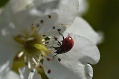 Ladybug на дереве цветения груши Стоковая Фотография
