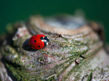 Ladybug на дереве Стоковые Изображения
