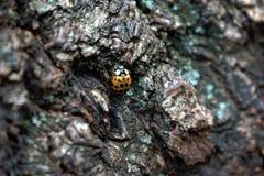Ladybug на дереве Стоковая Фотография RF