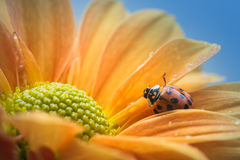 Ladybug на желтой маргаритке Стоковая Фотография