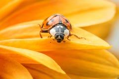 Ladybug на желтой маргаритке Стоковое фото RF