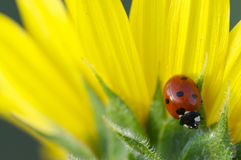 Ladybug на желтом цвете Стоковые Изображения