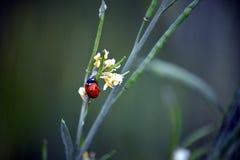 LadyBug на зеленом заводе Mustrad Стоковое Изображение