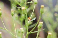 Ladybug на зеленом растении в внешнем парке Стоковые Фотографии RF