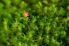 Ladybug на зеленом мхе, конец вверх с малой глубиной поля Стоковые Фотографии RF