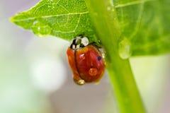 Ladybug на зеленом черенок Стоковое Изображение RF