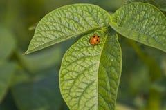 Ladybug на зеленых листьях картошки Стоковое фото RF