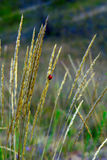 Ladybug на золотые уши стоковое фото