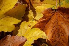 Ladybug на листьях осени стоковое изображение rf