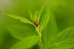 Ladybug на листьях Стоковое Изображение