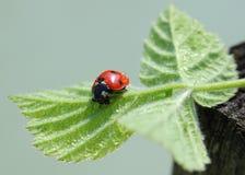 Ladybug на листьях Стоковые Изображения RF