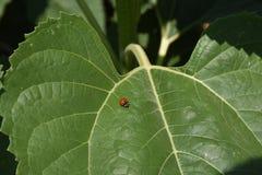 Ladybug на листьях стоковые изображения