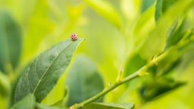 Ladybug на лист, лимон Стоковая Фотография