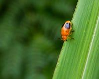 Ladybug на лист травы Стоковые Изображения RF