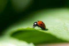 Ladybug на лист. Стоковые Фотографии RF
