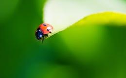 Ladybug на лист. Стоковая Фотография RF