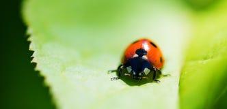 Ladybug на лист. Стоковые Изображения