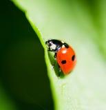 Ladybug на лист. Стоковое Изображение
