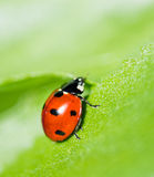 Ladybug на лист. Стоковые Фото
