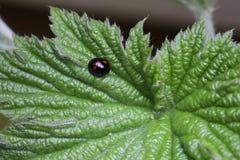 Ladybug на лист Стоковое Фото