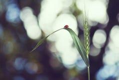 Ladybug на конце-вверх колоска пшеницы Стоковое фото RF