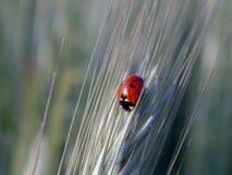Ladybug на колоске пшеницы Стоковое Фото