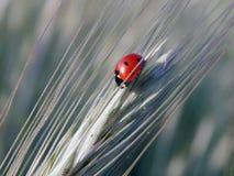 Ladybug на колоске пшеницы Стоковое фото RF