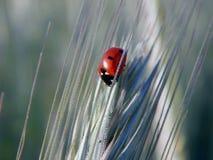 Ladybug на колоске пшеницы Стоковые Изображения