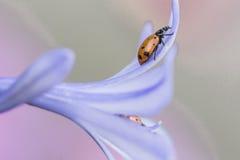 Ladybug на красивом фиолетовом цветке Стоковые Изображения