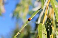 Ladybug на листьях Стоковая Фотография