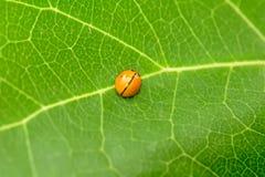 Ladybug на листьях Стоковые Фото