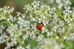 Ladybug на одичалых белых цветках стоковое фото rf
