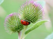 Ladybug на лопухе Стоковые Изображения