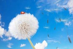 Ladybug на одуванчике Стоковая Фотография