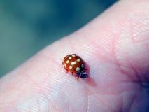 Ladybug на пальце Стоковая Фотография